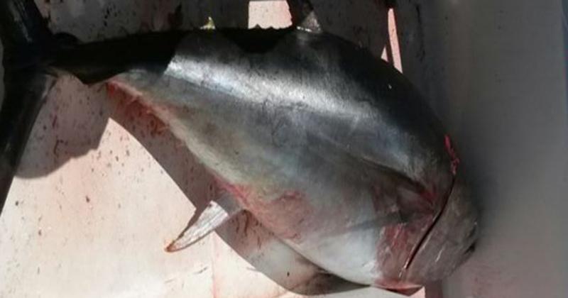 Falso tonno rosso